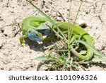 lizards fighting playing in the ... | Shutterstock . vector #1101096326