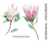 watercolor protea flowers. set... | Shutterstock . vector #1101158234