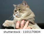 close up of british cat without ... | Shutterstock . vector #1101170834