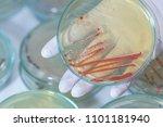serratia marcescens is a...   Shutterstock . vector #1101181940