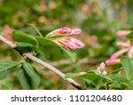 old fashioned weigela  weigela... | Shutterstock . vector #1101204680