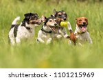 Stock photo many dogs run and play with a ball in a meadow a cute pack of jack russell terriers 1101215969