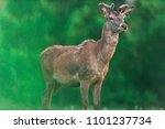 young red deer buck with... | Shutterstock . vector #1101237734