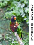 the black capped lory  lorius... | Shutterstock . vector #110125529