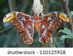 Giant Atlas Moth Is A Butterfl...