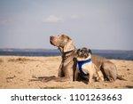 Weimaraner And Pug Posing In...