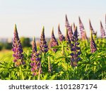 lupinus perennis in sunset... | Shutterstock . vector #1101287174