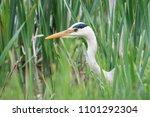 grey heron  heron  ardea cinerea | Shutterstock . vector #1101292304