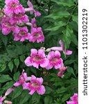 pink trumpet vine or port st... | Shutterstock . vector #1101302219