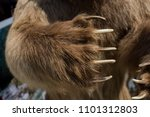 Brown Bear Paw With Sharp Claws ...
