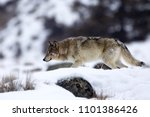 gray wolf on the prowl   famous ... | Shutterstock . vector #1101386426