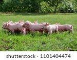 pig cute newborn standing on a... | Shutterstock . vector #1101404474