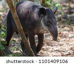 Baird's Tapir In Corcovado...