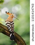 The Eurasian Hoopoe  Upupa...
