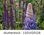 stunning purple lupin flower in ... | Shutterstock . vector #1101420128