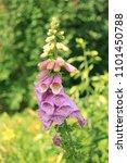lupine flower in garden on... | Shutterstock . vector #1101450788