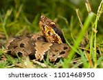 Small photo of Western Cottonmouth - Agkistrodon piscivorus