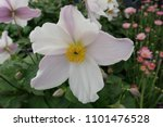 close up of anemone 'wild swan' | Shutterstock . vector #1101476528