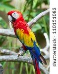 scarlet macaw  ara macao  in... | Shutterstock . vector #110151083