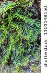 Small photo of Desktop Wallpapers. Green Spruce. Leaves of coniferous tree.