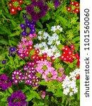 Colorful Beautiful Verbena...