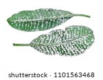 white aphids on leaves isolated ... | Shutterstock . vector #1101563468
