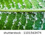 close up white aphids on leaves | Shutterstock . vector #1101563474