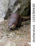 a north american river otter... | Shutterstock . vector #1101584630