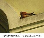 common kestrel  falco... | Shutterstock . vector #1101603746