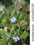 Small photo of Blue flax flowers or lint, Linum perenne with rose