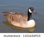 Canada Goose   Branta...