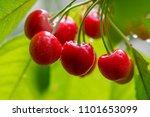 juicy red cherries on cherry... | Shutterstock . vector #1101653099