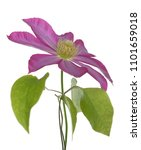 single clematis flower isolated ... | Shutterstock . vector #1101659018
