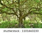 entwined apple tree trunk  | Shutterstock . vector #1101663233