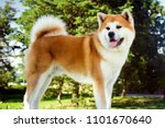 Beautiful Akita Dog Is Standin...