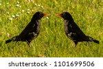 Common Blackbird   Ornithology...