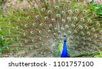peacock full plumage | Shutterstock . vector #1101757100