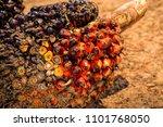 african oil palm  elaeis...   Shutterstock . vector #1101768050