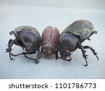 dynastinae black beetle | Shutterstock . vector #1101786773