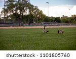 Geese Walking On A Baseball...