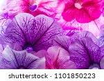 background from flower petals   ... | Shutterstock . vector #1101850223