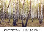 birch grove in siberia | Shutterstock . vector #1101864428