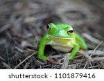 Frogs  Tree Frogs  Dumpy Frogs...