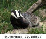 european badger | Shutterstock . vector #110188538