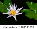 lotus on the water   philippines | Shutterstock . vector #1101911558