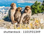 the barbary macaque monkeys of... | Shutterstock . vector #1101931349