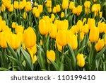 Beautiful Yellow Tulip Field