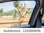Hungry Giraffe Waiting For Food ...