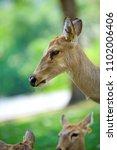 close up deer face   Shutterstock . vector #1102006406