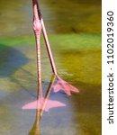 legs of pink flamingos in the... | Shutterstock . vector #1102019360